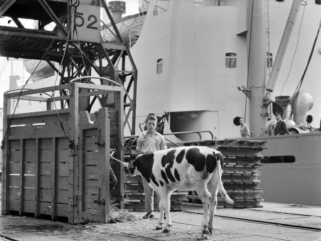 alioth_1950in_rotterdamwith_61_cows50_families325_personsembarking_to.jpg