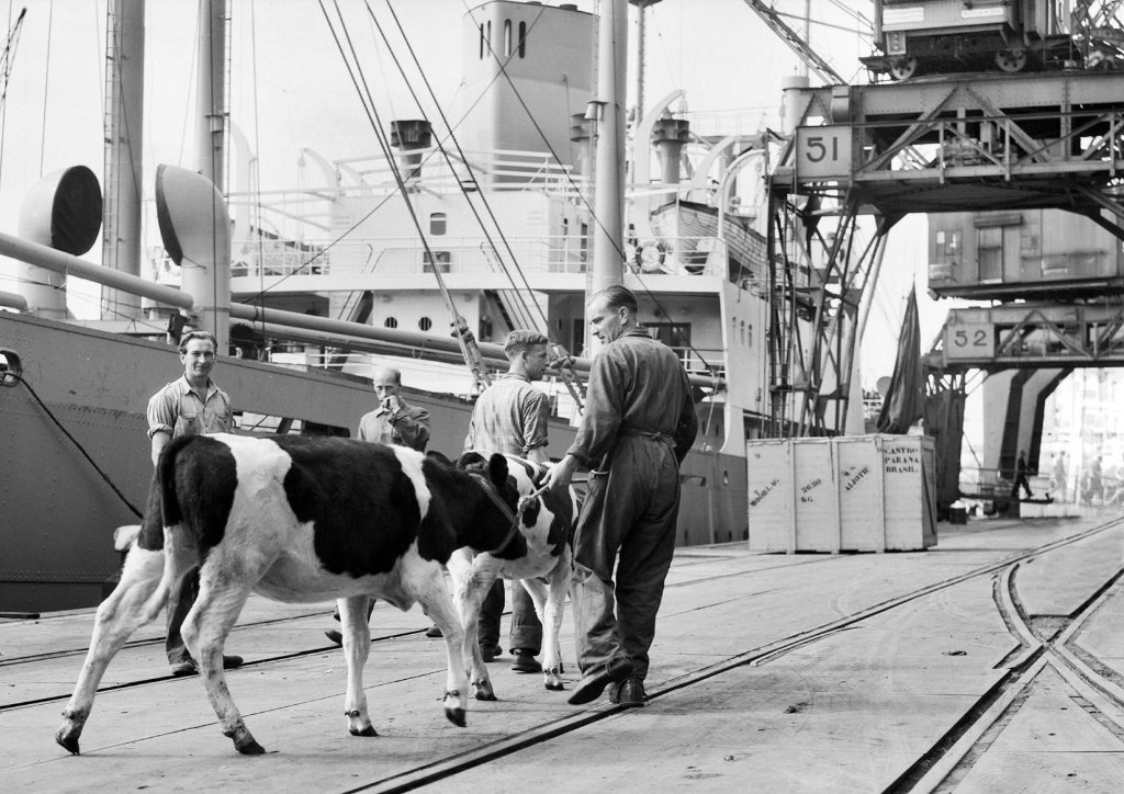 alioth_seen_rotterdamembarkation_of_61_cows50_families325_personsto_copy.jpg